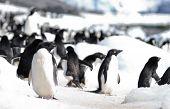 Adelie Penguin Colony