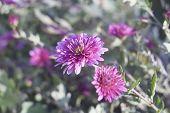 pic of chrysanthemum  - Lilac chrysanthemums in the garden in the sun - JPG