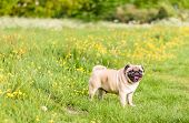 foto of pug  - A Cute female pug at a photo session in a park - JPG