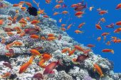 image of shoal fish  - colorful coral reef with shoal of fishes scalefin anthias in tropical sea - JPG