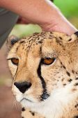pic of tame  - A tame chita lies calmly on the lawn as a person touches it - JPG
