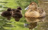 picture of pecker  - female of Common Eider with chickens  - JPG