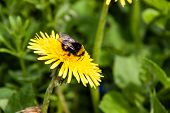 pic of bumble bee  - A bumble - JPG