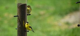 stock photo of goldfinches  - A group of American Goldfinches in various stages of life pay visits to the yard in spring time - JPG
