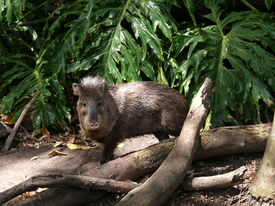 stock photo of javelina  - collared peccary is a pig like animal - JPG