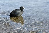 A image of the black water bird Fulica atra