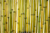 Yellow and green trunks of bamboo plants on a white background