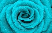 picture of blue rose  - one beautiful rose - JPG
