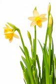 prestado lirio (Narciso) aislado en blanco