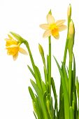 uitgeleend lelie (Narcis) geïsoleerd op wit