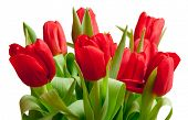 beautiful red tulips in bag