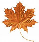 Golden Maple Leaf