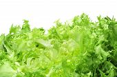 stock photo of escarole  - an escarole endive on a white background - JPG