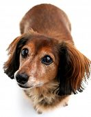 Long hair dachshund on a white background.