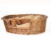 Dachshund in her basket.