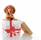 foto of cute puppy  - Christmas puppy in a gift box - JPG