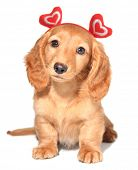 Miniature dachshund puppy wearing red hearts for Valentine's day.
