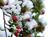 Snowy Azalea Red Buds