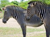 Close-up Profile Shot Of Two Zebra
