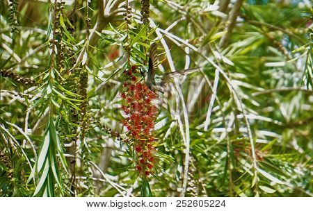 Graytailed Mountaingem Hummingbird On Red