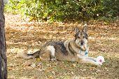 German Shepherd Dog With Toy