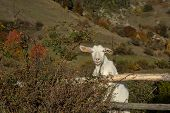The Domestic Goat Capra Aegagrus Hircus (capra Domesticus) Is A Subspecies Of Goat Domesticated From poster