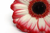 Red And White Gerber Daisy Isolated On White