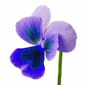 Flower Blue Lilac Viola Isolated On White Background. Close-up. Flower Bud On A Green Stem. poster