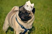 Dog-king. Young Pug-dog.young Energetic Dog On A Walk. Sun. Funny Face. How To Protect Your Dog From poster