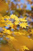 Red Maple Leaves At Autumn Forest, Blurred Background. Season Changing. A Tree Branch Of Maple, Fall poster