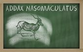Sketch Of Addax On Blackboard (addax Nasomaculatus)