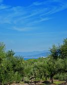 Olive Trees Under The Blue Sky