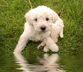 Cute White Puppy On Grass In Front Of Water Pond.