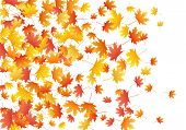 Red Maple Leaves Background Seasonal Vector Illustration. Fall Season Specific Vector Background. Au poster