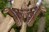 Giant Atlas Moth