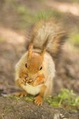 Squirrel Animal Nature Mammal Red Rodent Cute Wildlife Tail Wild Eating Fur Animal Nut Park Brown Fl poster