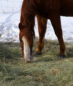 Single Brown Horse Grazing In Winter Pasture