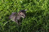 Cute Little Kitten On Green Summer Grass. Little Kitty With Blue Eyes And Small Ears. Curious Cat Ba poster