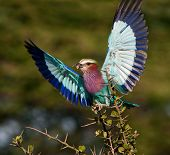 Lilac-breasted Roller With Catch.