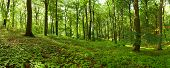 Panorama of a green summer forest
