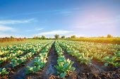 Cabbage Plantations Grow In The Field. Vegetable Rows. Farming, Agriculture. Landscape With Agricult poster