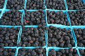 Blackberries, Freshly Picked
