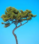 Maritime Pine Curved Tree On Blue Sky Background. Provence, France.
