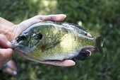 foto of bluegill  - bluegill close up being held in hand