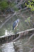 Grey Heron Standing On A Wooden Wall