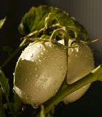 Raindrops On Green Tomatoes