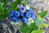 Blueberries on the Bush