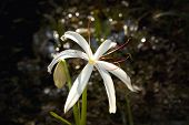 Swamp Lily Of The Florida Everglades