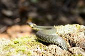 image of harmless snakes  - A common water snake  - JPG