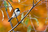 pic of chickadee  - Black - JPG